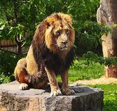 The prisoner lion — Stock Photo