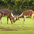 Nile lechwe antelopes — Stock Photo