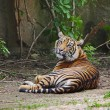 Sumatrtiger cub — Stock Photo #35680125