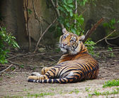 Sumatran tiger cub — Stock Photo