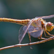 Dragonfly — Stock Photo