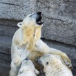 Polar bear cubs feeding — Stockfoto
