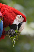 Green winged macaw — Stock Photo