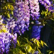 Wisteria — Stock Photo #37903797