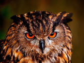 Eagle owl — Stock fotografie