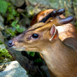 Portrait of muntjak deer — Foto Stock #39326349