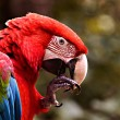 Stock Photo: Green winged macaw