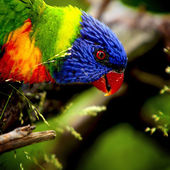 Sunset Lorikeet — Stock Photo