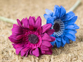 Two flowers of diferent colors — Stok fotoğraf