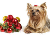 Yorkshire dog with christmas balls — Stock Photo
