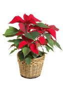 Isolated red poinsettia — Stock Photo