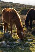 Doğada iki at — Stok fotoğraf