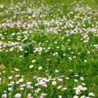 Daisies and grass background - Stock Photo