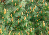 Pine leaf background — Stock Photo