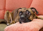 Dog lying on a sofa — Stock Photo