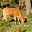 Brown cow grazing in a forest — Stock Photo