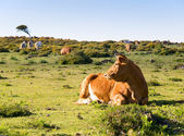 Cow lying in a field — Stock Photo