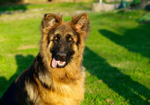 Adorable and funny German Shepherd puppy — Stock Photo