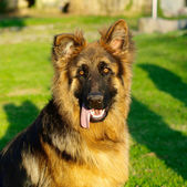 Adorable and funny German Shepherd puppy in square composition — Stock Photo