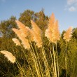 Cortaderia selloana — Stock Photo