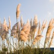 Pampas grass, Cortaderia selloana outdoors — Stock Photo