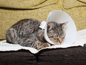 Sleeping cat with an Elizabethan collar — Stock Photo