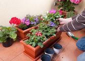 Transplante de plantas de flores — Foto de Stock