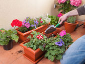 Transplanting plants flowers — Stock Photo