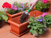 Transplanting plants flowers — Stock Photo
