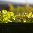 Salad grown on the window — Stockfoto
