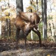 Scratching Elk — Stockfoto