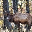Elk in the Woods — Stock Photo
