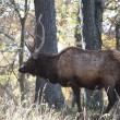 Stock Photo: Big Daddy Elk