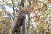 Elk in the Woods — Stock Photo