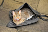 Cat in a Satchel — Stock Photo