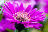 Purple flower (Aster Nova Anglia) — Stock Photo