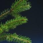 Twig of fir — Stock Photo
