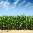 Cornfield — Stock Photo #19358295