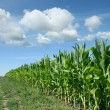 Cornfield — Stock Photo #19358297