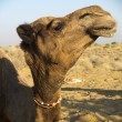Stock Photo: Dromedary head.