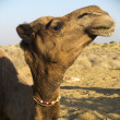 Dromedary head. — Stock Photo #23641195