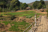 Laotian vegetable garden. — Stock Photo