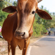 Red cow — Stock Photo #42425777