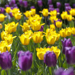 Yellow tulips — Stock Photo #14167463