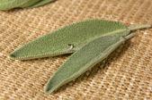 Salvia leaves — Stock Photo