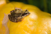 Frog on the pumpkin — Stockfoto