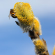 Bee on willow flowers - Stock Photo