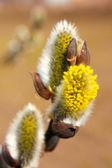 Willow flowers — Stock Photo