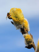 Bee on willow flowers — Stock Photo