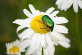 Green beetle on camomile — Stock Photo